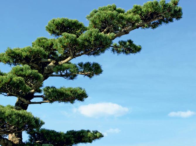 Comment tailler ses arbres en nuage elle d coration - Comment tailler des cypres ...