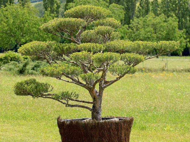 Comment tailler ses arbres en nuage elle d coration for Arbre decoratif exterieur