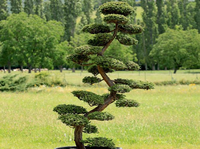 Comment tailler ses arbres en nuage elle d coration for Arbre bonsai exterieur