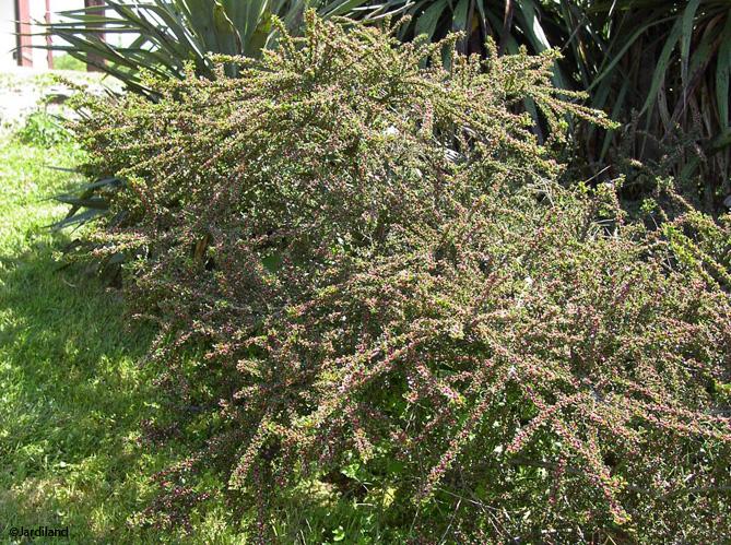 Des arbustes originaux pour mon jardin elle d coration for Arbres pour jardin