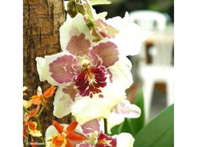 orchid e d couvrez les diff rentes vari t s de cette jolie fleur elle d coration. Black Bedroom Furniture Sets. Home Design Ideas
